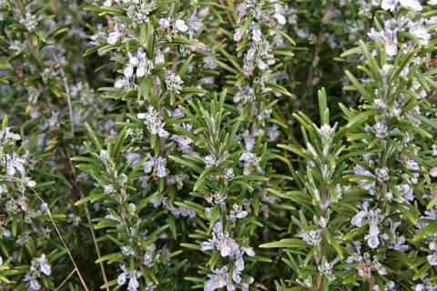 Food & Garden with Andrew Padula: The many benefits of rosemary