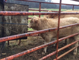 'Moon Boom Cow' returned home after missing for 5 months