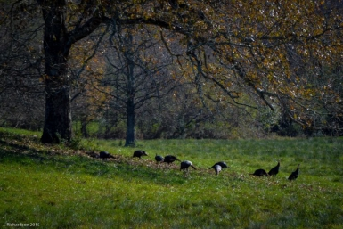 Travelers Rest History: 'Droving' turkeys though town
