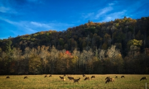 Worth the Drive: Elk viewing in Cataloochee Valley